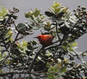 The 'Apapane honeycreeper, seen here at Hawai'i Volcanoes National Park, is one of the only remaining, relatively abundant species of Hawaiian honeycreepers. Photo courtesy of Simon Bisson.
